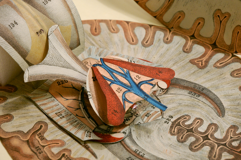 G. J. Witkowski. Human anatomy and physiology,(brain-close-up)[1880?-1889].