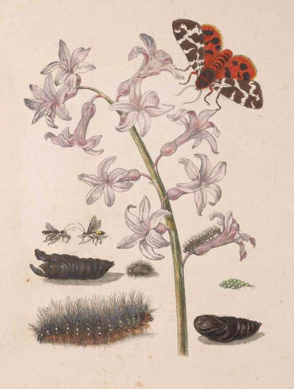 Work by Maria Sibylla Merian