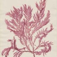 Marine Algae Specimen, June 12, 1964 Duke Herbarium Collection