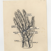 Illustration of a hand created by the Duke University Medical Art Department