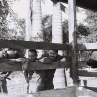 Fidel Castro showing Comandante Armando Acosta his cows, Havana Province, February 1964