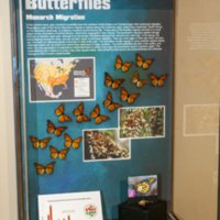 Insect exhibit monarch migration